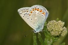 Butterfly (Lycaena Icarus) Stock Photos