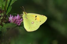 Free Butterfly (Colias Crocea) Royalty Free Stock Photography - 14322127