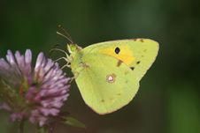 Free Butterfly (Colias Crocea) Stock Photos - 14322133