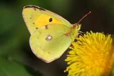 Free Butterfly (Colias Crocea) Royalty Free Stock Photography - 14322147