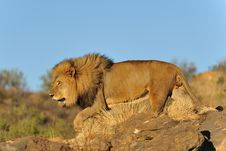 Namibia - Lion At Sunset Stock Images