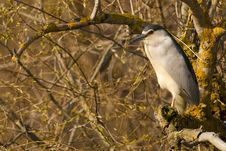 Free Black Crowned Night Heron Stock Images - 14322874