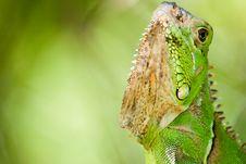 Free Green Iguana Stock Image - 14322941