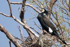 Great Cormorant On Nest Royalty Free Stock Photo