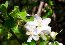 Free Branch Of An Apple-tree Royalty Free Stock Image - 14323636
