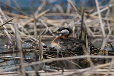 Free Red Necked Grebe On Nest Royalty Free Stock Image - 14323726