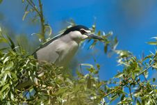 Free Black Crowned Night Heron On Willow Stock Images - 14323734