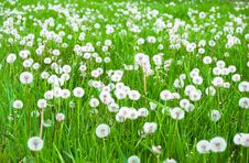 Free Field With White Fluffy Dandelions Royalty Free Stock Photo - 14323745