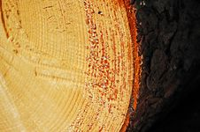 A Sawn End Of Pine Log Close-up Royalty Free Stock Photography