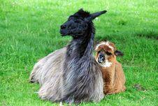 Free Alpaca Family Royalty Free Stock Photography - 14325007