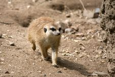 Free Meercat Royalty Free Stock Images - 14325059