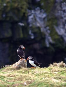 Free Puffins During Mating Season Stock Photography - 14326022