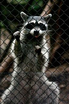 Free Raccoon Royalty Free Stock Images - 14326999