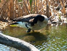 Free Canadian Goose Grooming Royalty Free Stock Photography - 14327147