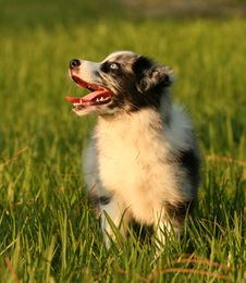 Free Australian Shepherd Puppy Female Royalty Free Stock Images - 14327169
