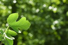 Free Detailed Green Fig Leaf Royalty Free Stock Images - 14327339