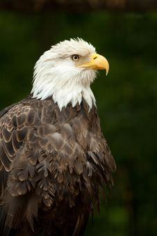 Free Bald Eagle Portrait Royalty Free Stock Photo - 14327695