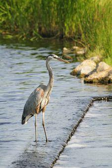 Free Heron Royalty Free Stock Image - 14327716