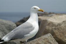 Free Dove On Rocks Royalty Free Stock Image - 14328036