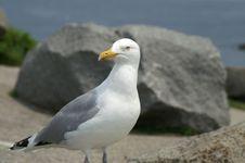 Free Ring-Billed Gull Royalty Free Stock Photos - 14328038