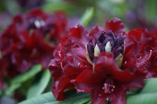 Free Red Rhododendron And Seed Pod Royalty Free Stock Photos - 14328068