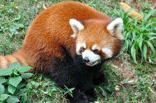 Free A Sitting Lesser Panda Royalty Free Stock Image - 14328086
