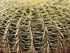 Cactus Thorns Stock Images