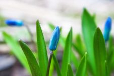 Free Squill (Scilla) Flowers Stock Images - 14328654