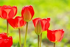 Free Red Tulips Stock Photography - 14328672