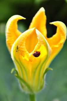 Green Spider And Ladybird On A Yellow Flower Royalty Free Stock Photography