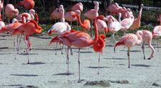 Free Flamingo Royalty Free Stock Images - 14328739