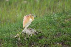 Squacco Heron Resting Royalty Free Stock Photos