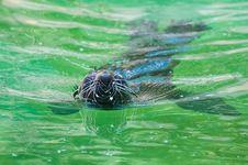 Fur Seal Stock Image
