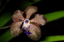 Free Orchid Stock Photography - 14329202