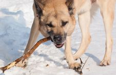Free West Siberian Laika (Husky) Royalty Free Stock Photography - 14329587