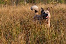 Free West Siberian Laika (husky) Stock Images - 14329624