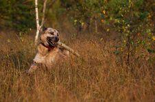 Free West Siberian Laika (husky) Royalty Free Stock Photo - 14329655