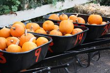Free Three Black Wheelbarrows Of Orange Pumpkins Stock Photo - 14329680