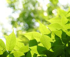 Free Green Leaves Royalty Free Stock Images - 14329729