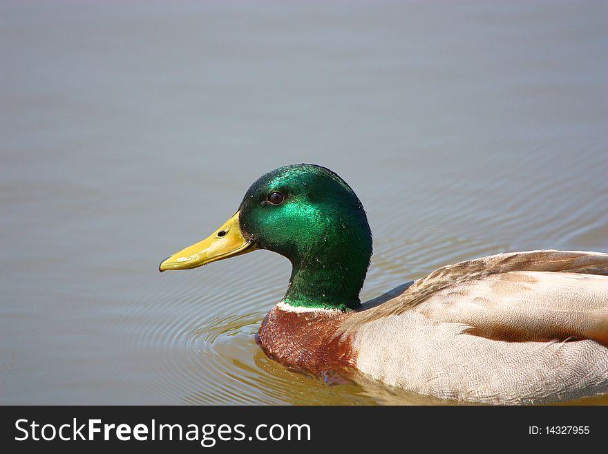 Male Mallard Duck Portrait with copy space
