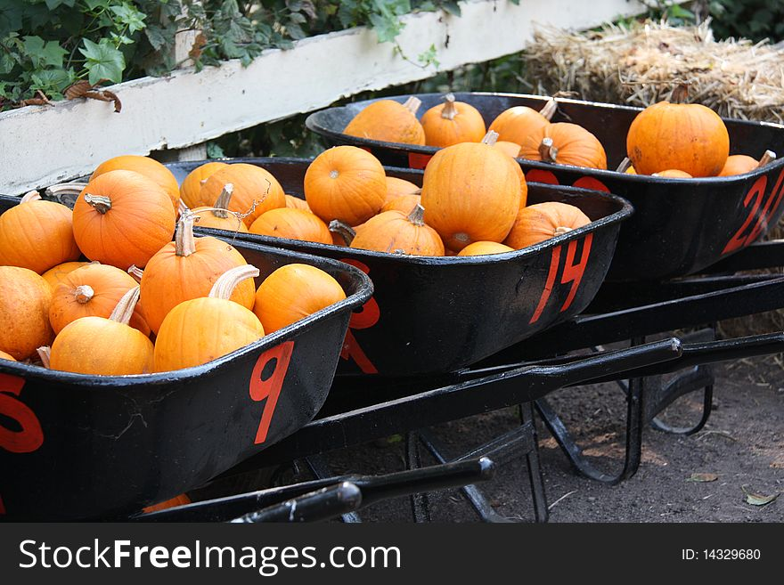 Three black wheelbarrows of orange pumpkins