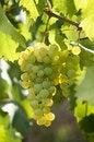 Free White Grapes Royalty Free Stock Image - 14332756