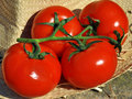 Free Fresh Tomatoes Royalty Free Stock Photography - 14334977