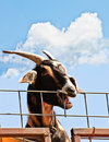 Free Goat At A Fence Royalty Free Stock Images - 14337769