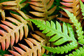 Free Fern Royalty Free Stock Photography - 14338527