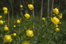 Free Globeflowers Stock Image - 14330221
