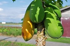 Free Papaya Fruits Stock Images - 14330274