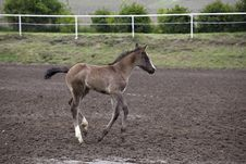 Free Foal Royalty Free Stock Photography - 14330687