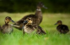 Free Duckling Family Royalty Free Stock Images - 14331139