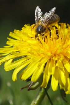 Free Honey Bee Yellow Dandelion Royalty Free Stock Photos - 14331478